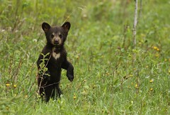 Black Bear Cub (Guy Lichter Photography - 3.1M views Thank you) Tags: canon 5d3 canada manitoba rmnp wildlife animal animals mammal mammals bear bears blackbear cub