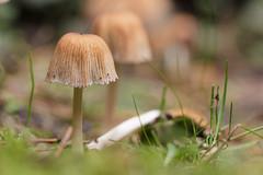 Schirmchen.. | ..Umbrella (Sorgenfred) Tags: closeup gras grass green grn macro makro mushrooms nahaufnahme natur nature pflanzen pilze plants schirm schirmchen umbrella