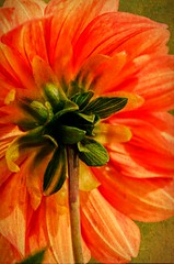 I've Got Sunshine! (catmccray) Tags: dahlia swansolympicflamedahlia hudsonbotanicgardens orange petals