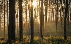 5995 (gcu_sketcher) Tags: xt1 xf1655 dawn daybreak sunrise morning winter frost sunshine somerset december woodland trees woods countryside