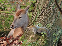 Forest friends (PhotoLoonie) Tags: reddeer deer squirrel greysquirrel nature britishwildlife wildlife animal britishwildanimal wildanimal animals autumn