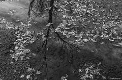 Otoo (Pepa Morente ( 1.450.000 de VISITAS )) Tags: otoo hojas ramas blancoynegro reflejo agua charco
