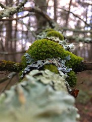 #Moss #tree #trees #woods #forest #woodland #growing #limb #branch #Connecticut #Mike #Liebler #wilderness #nature #Mikey #patches #of #mosses #Vernon #Tolland #Bolton (mikeliebler222) Tags: green foliose lichens with lichinizedfungus branches bark folioselichen folioselichens lichen moss tree trees woods forest woodland growing limb branch connecticut mike liebler wilderness nature mikey patches mosses vernon tolland bolton