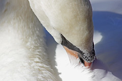 Scratching...time (Debbie -GR) Tags: atticazoo swan nature greece spiritofphotography
