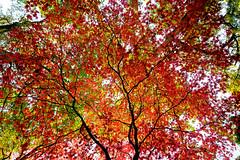 Branch & Sprawl (MattCCttaM) Tags: winkwortharboretum autumn godalming acer england tree season leaf fall leaves red