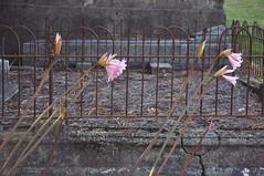 DSC_8575 [ps] - Bent with Sorrow (Anyhoo) Tags: anyhoo photobyanyhoo picton marlborough southisland newzealand nakedladies flowers amaryllisbelladonna amaryllis belladonna blooming flower jerseylily grave cemetery graveyard tomb railing fence iron broken damaged worn decay lifeanddeath leaning