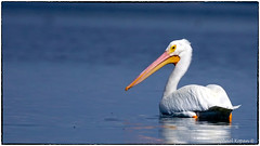 American White Pelican looking disapprovingly at the kayak (RKop) Tags: a77mk2 70400gssmsony fortdesotostatepark florida raphaelkopanphotography sony