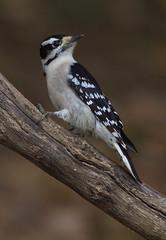 Downy Woodpecker, female (AllHarts) Tags: femaledownywoodpecker backyardbirds cordovatn naturesspirit thesunshinegroup naturescarousel ngc