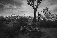 Joshua, formation (ffoster) Tags: joshuatreenationalpark joshuatree formation sunset landscape california park blackandwhite sigmaquattrodp0 frankfoster