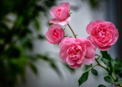 "»The Four ""Rosie"" Tops« (tuvidaloca) Tags: rosas roses rosen rosa bokeh dof desenfoque desenfoqueparcial tiefenschärfe schärfentiefe heiter bright alegre"