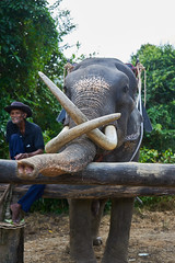 Elephant Man (8mr) Tags: phaajan phajaan elephant animal abuse thailand tusks tusk africa thai wild wildlife elephants asian asia handler trained khaosok khao sok national park snout close up sony alpha male boy healthy happy sad smiling land smiles controversy controversial peta teacher ride rider riding portrait third world employment ivory captive nostril dumbo