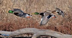 Mallards In A Plane (Vidterry) Tags: ducks mallards mallardsinflight nikond300 tamron200500mm440mm 13200thf8