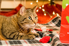 Pretty Amber (tehchix0r) Tags: cat cats kitty kitties cute cutecat cutekitty christmas holiday tabby christmascat holidaycat
