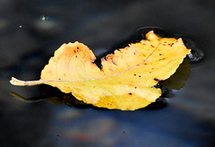 Floating away. (pstone646) Tags: leaf autumnal floating river kent reflection closeup nature water sky clouds