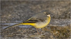 Grey Wagtail (m) (cconnor124) Tags: carrmilldam billinge england unitedkingdom gb greywagtails smallbirds birdphotography uknature naturephotography wildlifephotography canon100400lens canon7dmk11