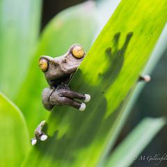 _ECA0frog376 (Guldenfels-photos) Tags: frog ecuador equateur serpent lezard lizard grenouille verte green yellow nikon d800 macro tropical blue i am