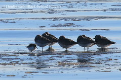 1 Dunlin with Black-bellied Plovers (Terrance Carr) Tags: dncb 201649 dike terry carr terrycarr 2016 december 20161206