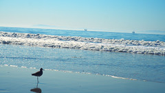 PB250867 (mina_371001) Tags: bird animal beach bluesky sea america california carpinteria sunny photographywork olympusomdem10
