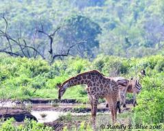 Hluhluwe-Imfolozi 022 (REBlue) Tags: southafrica kwazulunatalprovince hluhluweimfolozipark giraffe burchellszebra