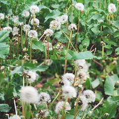 (alaskite) Tags: life nyc newyorkcity flowers white flower green rain happy spring nikon day dandelion rainy d80