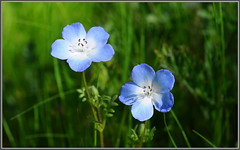 Blue Wildflowers