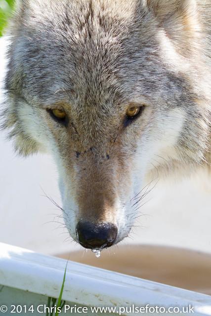 Anglian Wolf Society