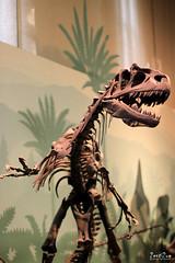 Museo di Storia Naturale 01/06/0214 (R. Spolidoro) Tags: lion esqueleto museo leone tigre orsi orso falco leao coala savana giardinipubblici storianaturale museodisn disonauro prestorico