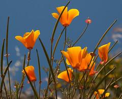 California poppies (Eschscholzia californica) (James McBean Photography) Tags: blue sky orange flower bokeh bluesky vancouverisland poppy poppies wildflower victoriabc californiapoppies eschscholziacalifornica orangepoppies