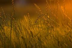 the summer side of life (Margot in Love) Tags: light sunset summer nature licht sonnenuntergang sundown sommer natur meadows wiese abends