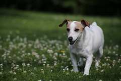 Vitamine (dbrothier) Tags: vitamine jackrussell chien dog canonef100300mmf4556usm dof chienne 100v10f canonfrance yourbestoftoday flickrclickx flickr13