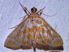 Grass Moth - Family Crambidae - NMW 21 July 2014-174 (Dis da fi we) Tags: belize crambidae grassmoth jungle moth puntagorda toledo wildlife nationalmothweek nationalmoth mothing cottages hickatee