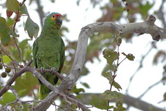 Red-lored Parrot (Jeff Bray) Tags: california county city red orange parrot redlored lored