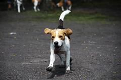 Muddy Beagle (Maëlick) Tags: dog pet france beagle nordpasdecalais billyberclau