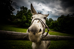 Donkey (fjuryadam) Tags: world portrait detail animal museum canon eyes focus europe czech wide dramatic donkey manual lightroom samyang wallachia
