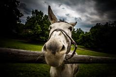 Donkey (fjuryadam) Tags: world portrait detail animal museum canon eyes focus europe czech wide dramatic donkey manual lightroom samyang wallachia