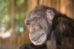 2014-08-03-09h16m30.BL7R6291 (A.J. Haverkamp) Tags: zoo thenetherlands chimpanzee amersfoort dierentuin bini chimpansee dierenparkamersfoort canonef70200mmf28lisusmlens httpwwwdierenparkamersfoortnl dob1982