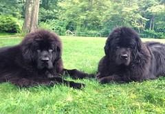 Leia and Chumley (Chum's mum) Tags: dogs chums leia newf chumley terranova newfie newfy chumy newfoundlanddogs mooncusser nereides misschumley chumsy