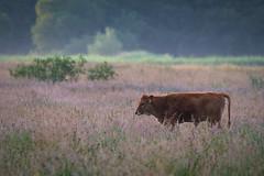heck cattle (maaddin) Tags: rind cattle heckrind heckcattle rieselfeldermünster