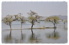 Where Birds Perch (The Spirit of the World) Tags: trees india lake nature water birds reflections fowl rajasthan udaipur waterscape waterreflections manmadelake lakepichola rememberthatmomentlevel4 rememberthatmomentlevel1 rememberthatmomentlevel2 rememberthatmomentlevel3 rememberthatmomentlevel7 rememberthatmomentlevel5 rememberthatmomentlevel6 rememberthatmomentlevel8