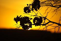 Crepúsculo (0666) (Jorge Belim) Tags: pordosol flora flor ipê 70200 entardecer crepúsculo fimdodia canoneos50d