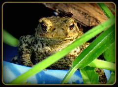 wollte nur mal HALLO sagen !!! (karin_b1966) Tags: nature animal garden natur amphibian toad garten tier 2014 amphibie kröte