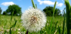 Flower Full of Wishes (rindac2137) Tags: fluff dandelion seeds makeawish dandelionfluff picmonkey:app=editor