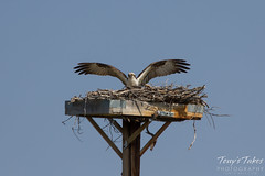 Osprey landing sequence - 11 of 14