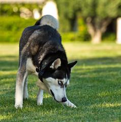 Bishop (poppiness) Tags: dog nikon husky d7000 dogsofnorthpark