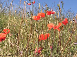 Poppy in Eforie Sud, Romania