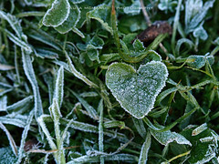 Adelaide's cold cold night (Paula McManus) Tags: cold green ice leaf frost heart freezing olympus adelaide southaustralia mybackyard heartshapedleaf em5 frostongrass paulamcmanus olympusomd olympus75mm18 august2014 adelaidescoldestnight coatingoffrost