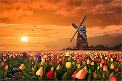 Intruder (Jean-Michel Priaux) Tags: flowers sunset sky sun mill nature colors landscape tulip paysage intruder tulipe quern intrus priaux