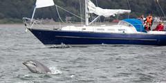 IMG_9755e (kesslet62) Tags: point scotland dolphin calf rosemarkie chanonry fortrose