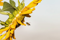 bee flying to sunflower (srvmusti) Tags: bee beemacro beeflying beeandsunflower beeflyingtosunflower aruuyor arayiei arkonuyor