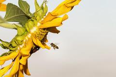 bee flying to sunflower (srvmusti) Tags: bee beemacro beeflying beeandsunflower beeflyingtosunflower aruuyor arayiei arkonuyor